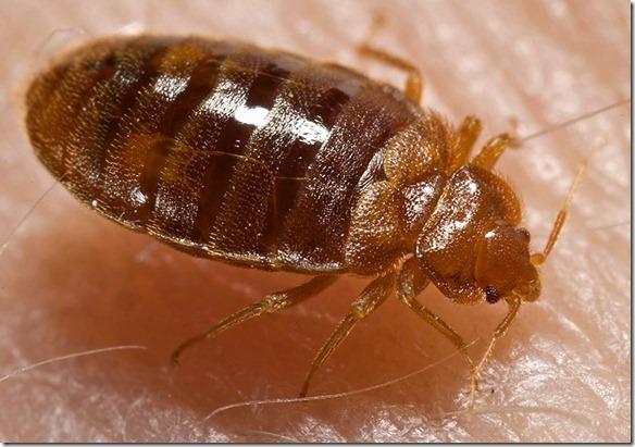 Bed_bug,_Cimex_lectularius_wikimedia