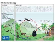 Ebola Ecology (CDC)