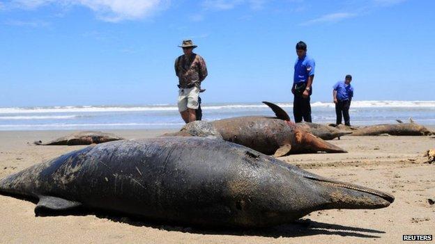 Dead dolphins wash ashore (2012)
