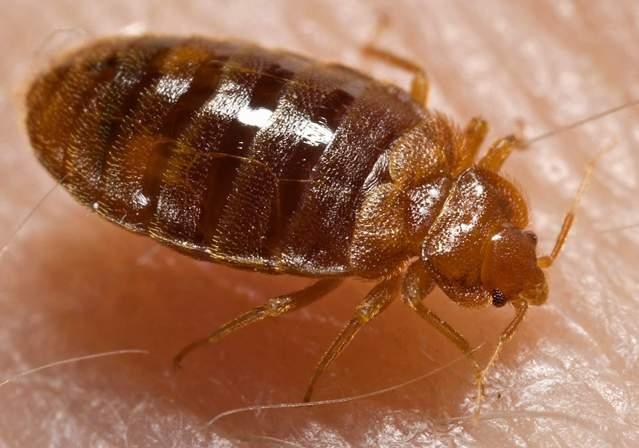 Bedbug: Cimex lectularius (Wikipedia)