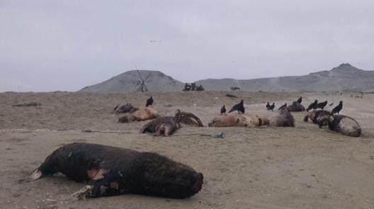 Dead sea lions on Peru beach
