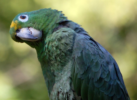 Amazona farinosa (Credits: snowmanradio on Flickr)