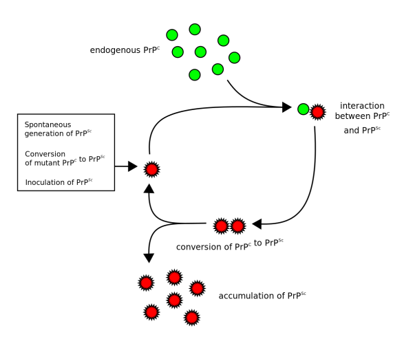 Generation of Prion Proteins (Wikipedia)