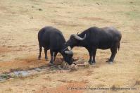 Wild buffaloes