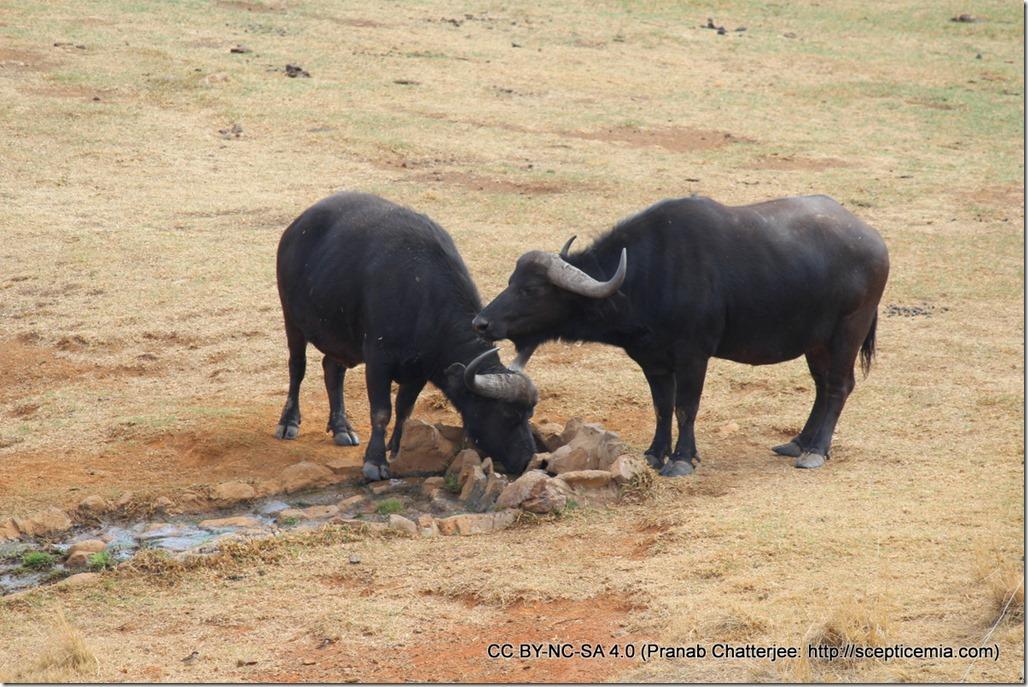 1 Wild Buffaloes