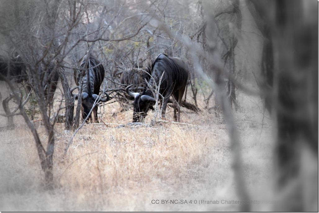 28 Wildebeest