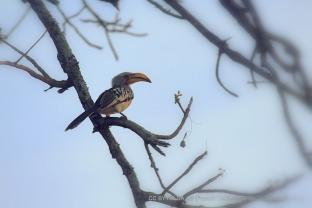 The Banana Bird