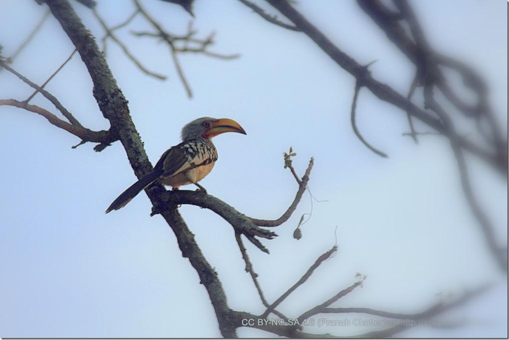 30 The Banana Bird - A Lone Hornbill