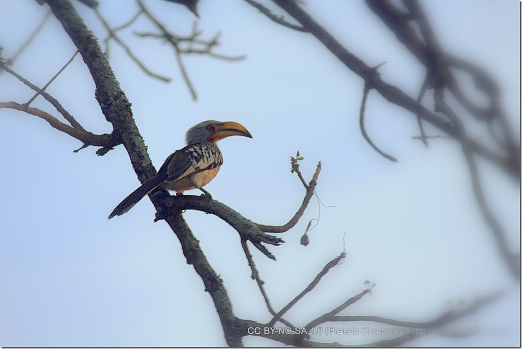 30 The Banana Bird - A Lone Hornbill