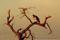 A Martial Eagle