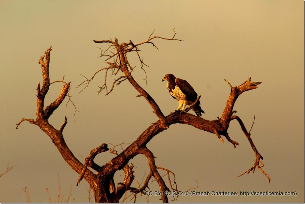 51 A Martial eagle