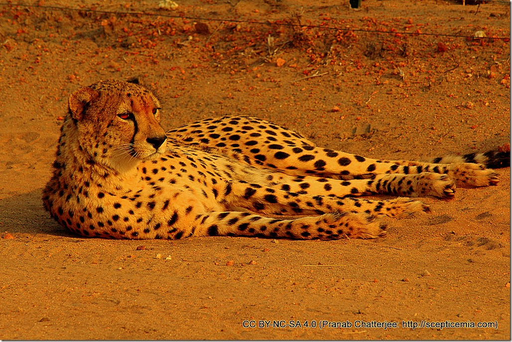 52 Good morning, cheetah
